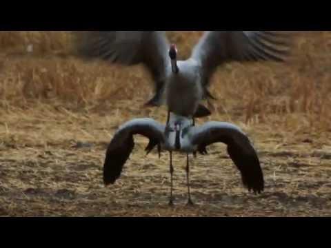 Crane dance / Tranedans