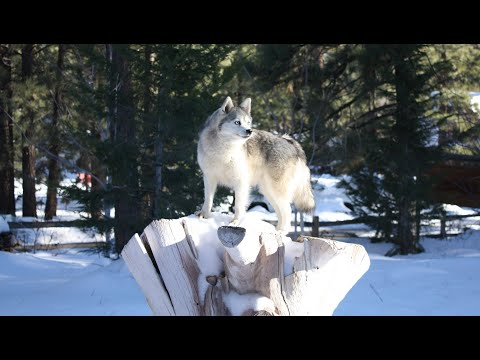 Breathtaking footage of Husky and Alaskan Klee Kai