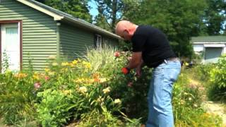 Pruning Roses: Gardening Techniques for Hybrid Tea Rose Pruning to Make The Job Simpler