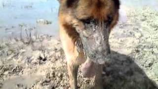 German Shepard Dog In The Summer Dried Out Lake Burren Ireland