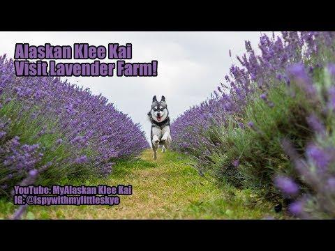 Alaskan Klee Kai at Lavender Farm in London