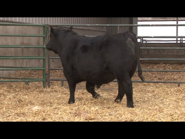 Schiefelbein Angus Farms Lot 63