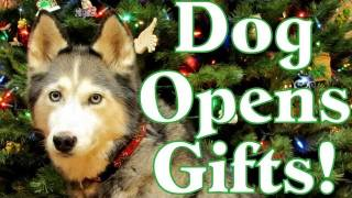 Dog Opening Christmas Presents Siberian Husky Opens Gifts