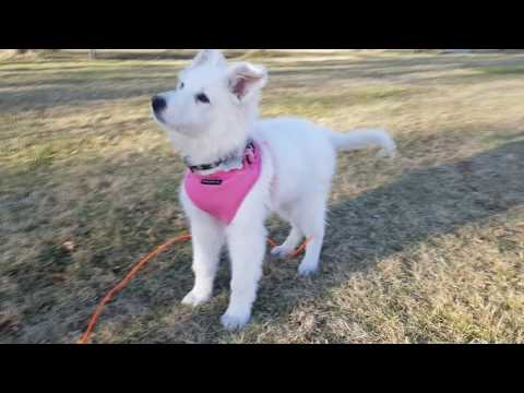 Ziera - White Swiss Shepherd puppy 2 to 8 months