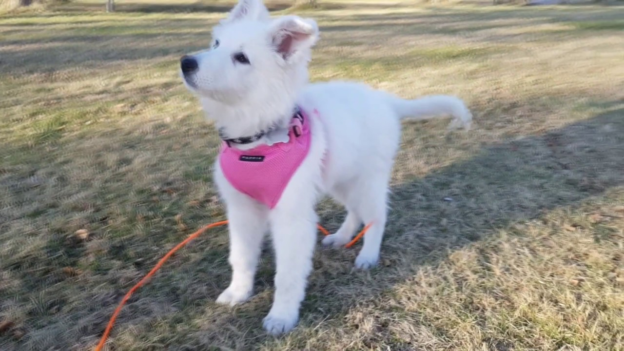 Ziera White Swiss Shepherd Puppy 2 To 8 Months Youtube