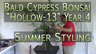 Bald Cypress Bonsai -