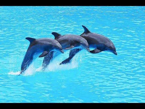 Dolphin Show Taman Safari Cisarua Indonesia - lumba lumba (full show)