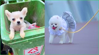 Funny and Cute Dog Pomeranian   Funny Puppy Videos #52