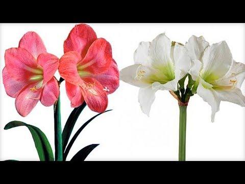 Как выглядит гиппеаструм цветок