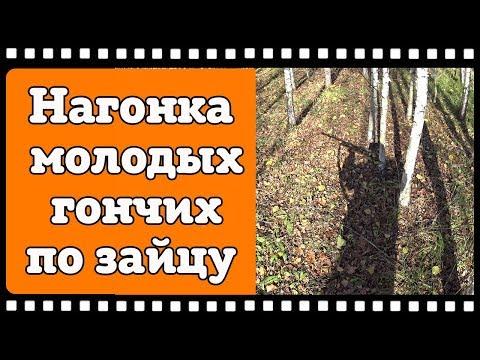 Видео с нагонки молодых русских гончих по зайцу. Задача дать собакам попробовать зайца на зубок.