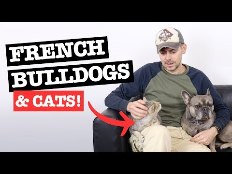 Are French Bulldogs Good with Cats: How to Introduce Them