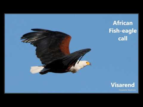 African Fish Eagle Call