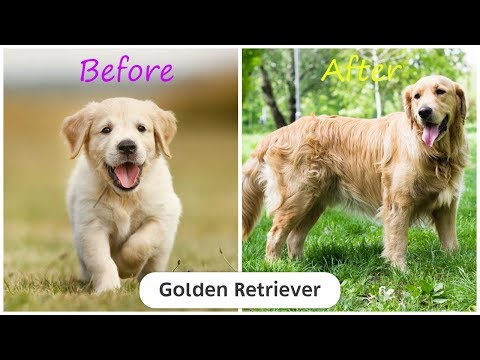 190 Dog Breeds Before and After Growing Up - Puppy To Adult Dog Pictures