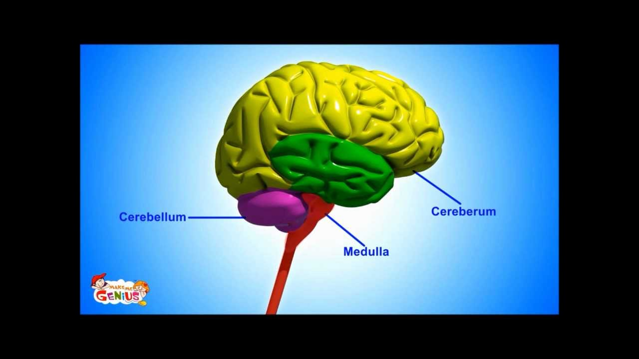 Brain Parts Functions Video For Kids From Makemegenius