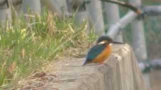 雫石の自然No165:雫石の野鳥・カワセミ