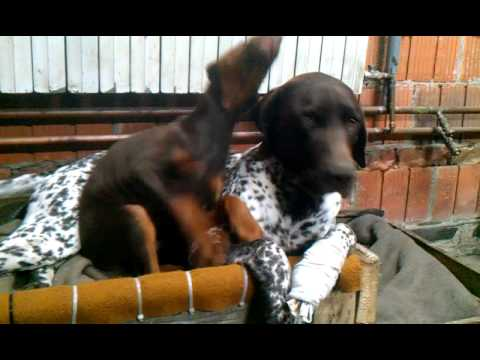 2 month old Doberman puppy annoying a German shorthaired pointer
