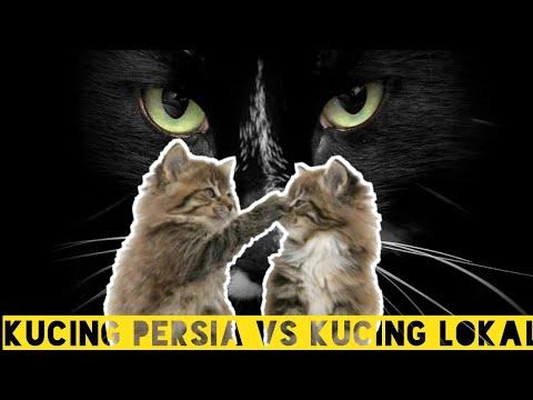 #kucingpersia-#kucinglokal-#kucingkampung-#kucinganggora-#pertarungan-kucing-persia-vs-kucing-lokal