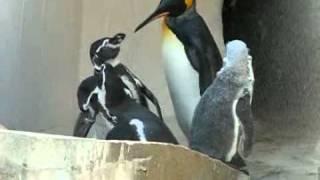 東山動物園で、ケンカするペンギン・仲裁するペンギンを撮影(PowerShotS...