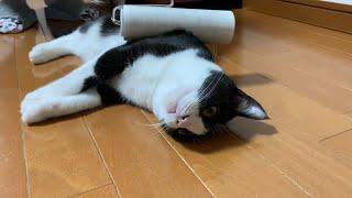 コロコロしろと催促する猫