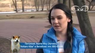 "Акита-Ину в Беларуси, питомник ""Keitaro Kiba"""