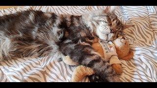 """Котята мейн кун VI сезон. """"Lovitven"""" online.  Эти котята продаются!!!"""