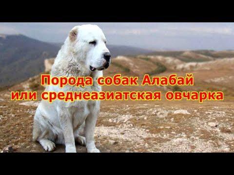 Вопрос: Какие игры для собаки породы алабай посоветуете?