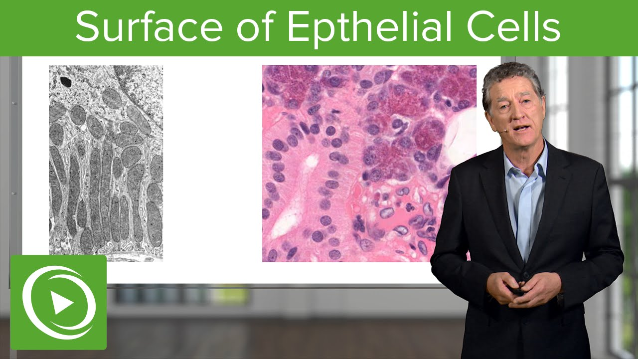 Epithelial Cells: Surface & Infoldings – Histology | Lecturio