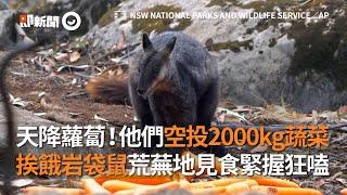 天降蘿蔔!他們空投2000kg蔬菜 挨餓岩袋鼠緊握狂嗑|澳洲|野火|野生動物
