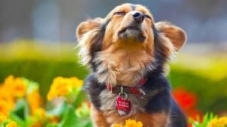 Как определить, что у собаки началась течка
