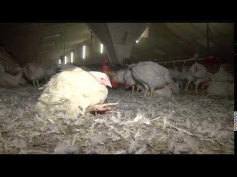 Tierquälerei unter FairMast-Label: PETA deckt Misshandlungen in zertifiziertem Hühnermastbetrieb auf / Tierrechtsorganisation dokumentiert brutale Ausstallung bei der Plukon Food Group