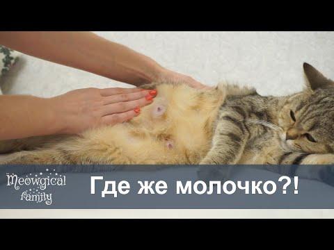 Прибыло ли молоко у кошки? Как увеличить лактацию?