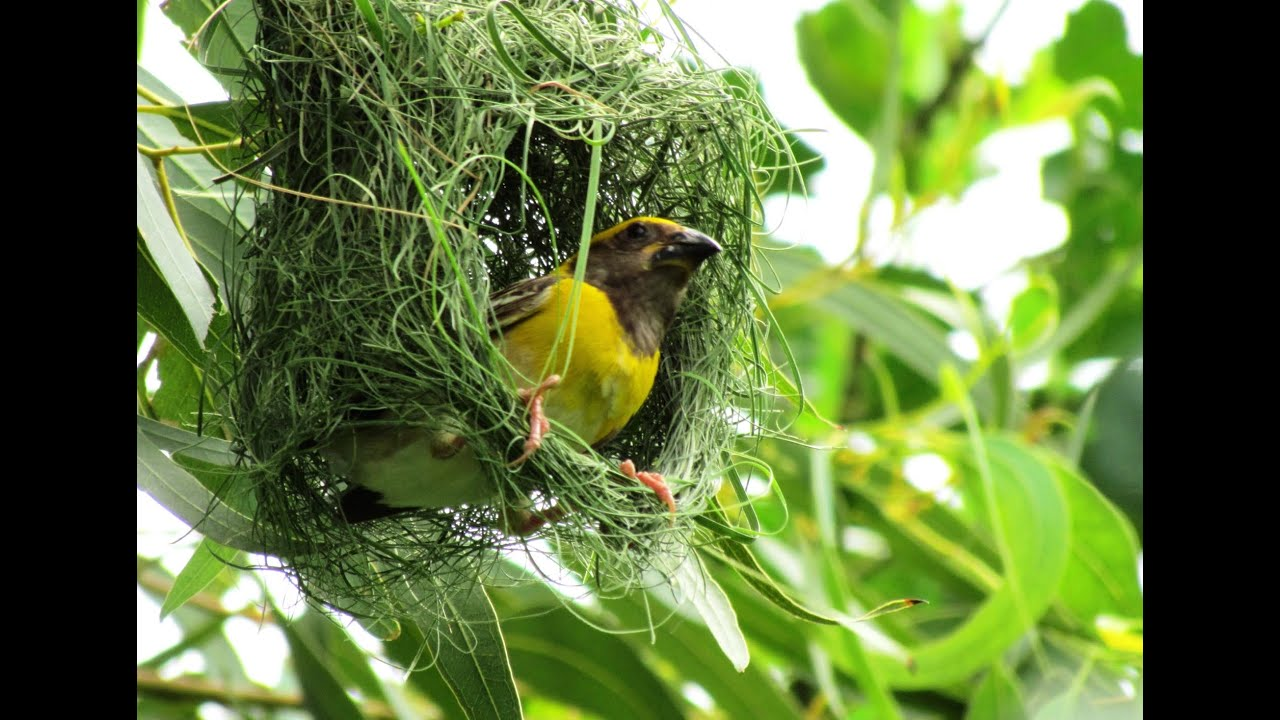 Weaver Bird Superfast Nest Building By Baya Weaver Youtube