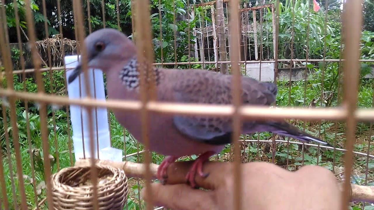 chim cu gáy khách rất thuần (đậu trên tay)  cơ sở bán giống  các loại 01635305982