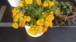 Комнатные цветы .Пересадка монстеры Альба , косой монстеры  и других цветов.