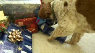 Welsh Springer Spaniel Unwrapping Christmas Gift