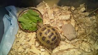 Моя сухопутная черепаха.