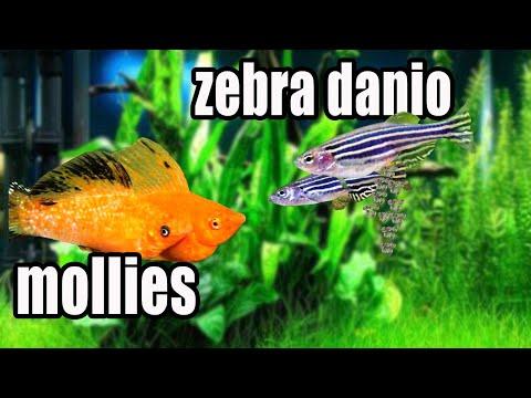 HOW TO BREED ZEBRA DANIO (ENGLISH SUBTITLE)
