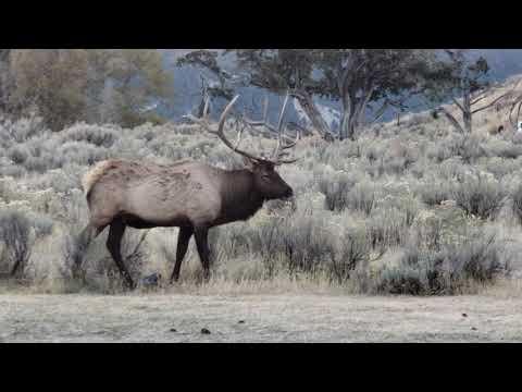 Elk in Yellowstone NP