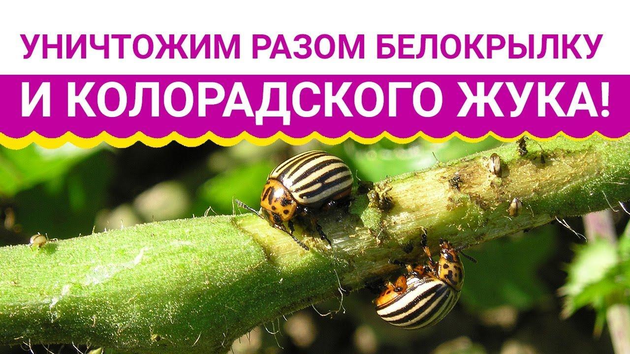 Уничтожим разом белокрылку и колорадского жука!