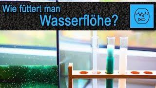 Wie füttert man Wasserflöhe? Wasserflöhe züchten - Daphnia Zuchtbecken - Lebendfutter Aquarium