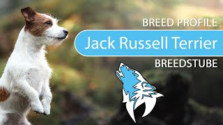 Jack Russell Terrier Breed, Temperament & Training