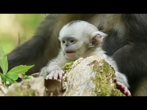 Thumbnail: Stubbed-Nose Monkey Gives Birth