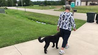 Labradoodle off leash heel in just 3 lessons! Cincinnati Dog Trainers Off Leash K9