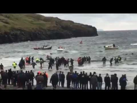 Pilot whale Slaughter in the Danish Faroe Islands 07 th Nov. 2016
