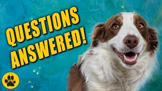 Things You Should Know about Border Collies