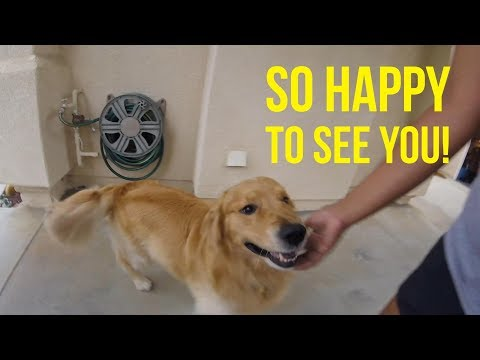 THE JOYS OF OWNING A GOLDEN RETRIEVER | Oshies World