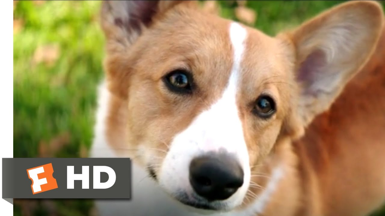 A Dog's Purpose (2017) - Corgi in Love Scene (6/10) | Movieclips