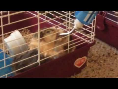 Guineapigs fighting over water cute
