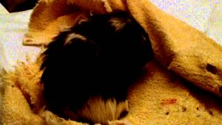 Guinea Pig with Adominal Cramping