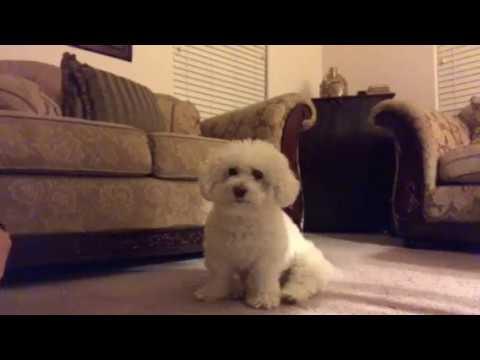 Bichon Frise Shaking Hands Dog Tricks